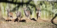 The lesser kudu family stand along the fence in their yard: Toba, Garrett, Kushu and Rogue.