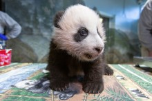 A young giant panda cub with black-and-white fur, round ears and small claws stands on a table in the indoor panda habitat at the Smithsonian's National Zoo during a routine exam