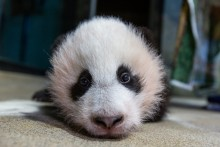 A close-up photo of a young giant panda cub's face as he rests on a towel during a routine exam. He has with black-and-white fur and round ears.