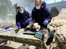 Giant panda cub Xiao Qi Ji lays on a small scale set on a table while chief veterinarian Dr. Don Neiffer and veterinary technician Brad Dixon weigh him. The 3 1/2 month old panda cub has black-and-white fur, round ears and large paws.