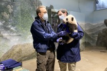 Veterinarian Dr. Don Neiffer listens to giant panda cub Xiao Qi Ji's heart and lungs with a stethoscope while veterinary technician Brad Dixon holds him. The 3 1/2 month old panda cub has black-and-white fur, round ears and large paws.