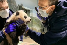Veterinarian Dr. Don Neiffer examines giant panda cub Xiao Qi Ji's eyes while veterinary technician Brad Dixon holds him steady. The 3 1/2 month old panda cub has black-and-white fur, round ears and large paws.