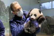 Veterinarian Dr. Don Neiffer holds giant panda cub Xiao Qi Ji during a veterinary exam.