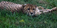 10-year-old Cheetah, Nick, lays in the grass.