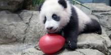 Giant panda cub Xiao Qi Ji with an enrichment egg on Jan. 6, 2021.