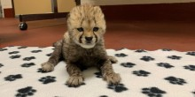 A 2-week-old cheetah cub lays perked up on a blanket. The blanket is white with a black pawprint pattern. The blanket sits on a dark-red concrete floor.