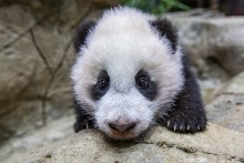 A close-up of giant panda cub Xiao Qi Ji as he climbs on rockwork in his indoor habitat. He has round ears, large paws with small claws, and black-and-white fur.