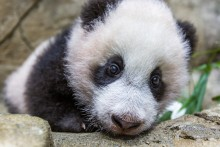 A close-up of giant panda cub Xiao Qi Ji as he rests on the rockwork in his indoor habitat. He has round ears, large paws with small claws, and black-and-white fur.