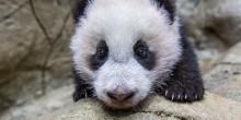 Giant panda cub Xiao Qi Ji scales the rockwork in his habitat Jan. 6, 2021.