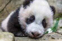 Giant panda cub Xiao Qi Ji Jan. 6, 2021.