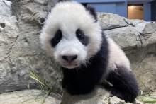 Giant panda cub Xiao Qi Ji climbs the rockwork in his habitat on Jan. 14, 2021.