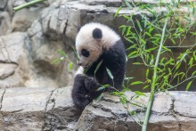 Giant panda cub Xiao Qi Ji sits on rockwork in his indoor habitat and tastes bamboo leaves.