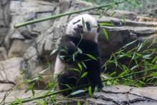 Jan. 27 | Giant panda cub Xiao Qi Ji had his first taste of bamboo this week!