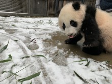 A giant panda cub stands in an area covered in a light dusting of snow and some scattered bamboo leaves.