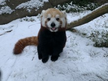 A red panda stands in a snowy outdoor yard