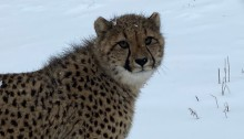 One of the cheetah cubs looks at the camera with a snowy background behind it.