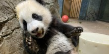 Five-month-old giant panda cub Xiao Qi Ji leans against rockwork in his habitat with one paw up on a cylindrical-shaped enrichment toy and nibbles on his first biscuit