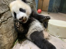 Five-month-old giant panda cub Xiao Qi Ji leans against rockwork in his habitat with one paw up on a cylindrical-shaped enrichment toy and nibbles on his first biscuit.