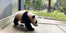 Giant panda cub Xiao Qi Ji walks tentatively onto the concrete outside the panda house that leads to the grassy yard behind him