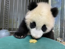 Giant panda cub Xiao Qi Ji licks a dollop of homemade applesauce off of a large green enrichment toy.