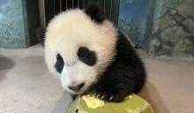 Giant panda cub Xiao Qi Ji paws at a piece of banana atop a green enrichment toy.