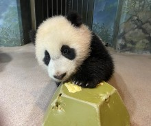 Giant panda cub Xiao Qi Ji paws at a piece of banana on top of a green enrichment toy.