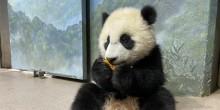 Giant panda cub Xiao Qi Ji sits upright eating a sweet potato.