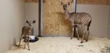 A lesser kudu calf (left) and his mother rogue (right) in their indoor enclosure at the Cheetah Conservation Station.