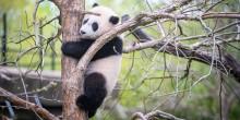 Giant panda cub Xiao Qi Ji up a tree.