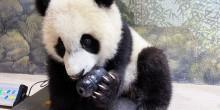 Giant panda cub Xiao Qi Ji gnaws on a kong toy while sitting atop a scale.