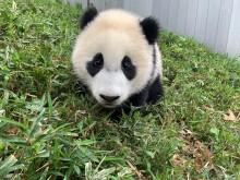 Giant panda cub Xiao Qi Ji sitting in the grass.