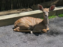 Lesser kudu calf laying down in the sand.