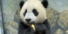 Giant panda cub Xiao Qi Ji holds a slice of apple in his paws.