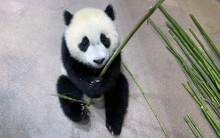 Giant panda cub Xiao Qi Ji sits on the floor of his indoor habitat, grasping a bamboo shoot.