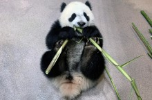 Giant panda cub Xiao Qi Ji lays on his back and takes a bite of bamboo in his indoor habitat.