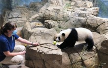 Giant panda cub Xiao Qi Ji walks across rockwork to touch his nose to a target training tool held out by a panda keeper