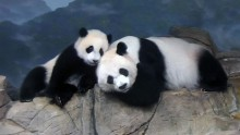 Giant panda cub Xiao Qi Ji sits next to his mother, Mei Xiang, as she rests on the rockwork of their indoor enclosure.