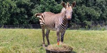 """Hartmann's Mountain Zebra Yipes celebrates his first birthday with a """"cake"""" made of hay, grass, pellets, browse and vegetables."""