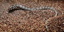European glass lizard hatchling