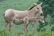 A Persian onager filly and her mother at the Smithsonian Conservation Biology Institute.