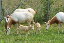 Two scimitar-horned oryx calves in a pasture with adult oryx.