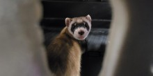 A black-footed ferret kit looks out an opening of it's plastic, pet carrier.