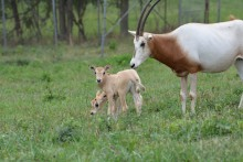 Scimitar-horned oryx calves in a pasture with adult oryx.