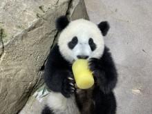 Giant panda cub Xiao Qi Ji lays on his back near a rock and eats a frozen fruitsicle