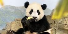 Giant panda cub Xiao Qi Ji sits atop the indoor rockwork eating an apple.