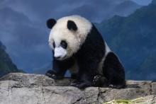 Giant panda cub Xiao Qi Ji rests on rockwork in his indoor habitat