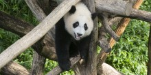 Giant panda cub Xiao Qi Ji stands on his climbing structure, looking straight at the viewer.