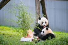 Giant pandas Xiao Qi Ji (foreground) and Mei Xiang (background) celebrate Xiao Qi Ji's birthday with a panda-friendly fuitsicle cake.