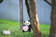 Giant panda Xiao Qi Ji holds a heart made of frozen diluted apple juice.