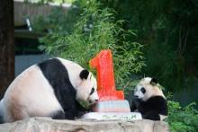 Giant pandas Mei Xiang (left) and Xiao Qi Ji (right) enjoy a fruitsicle cake in honor of Xiao Qi Ji's first birthday.